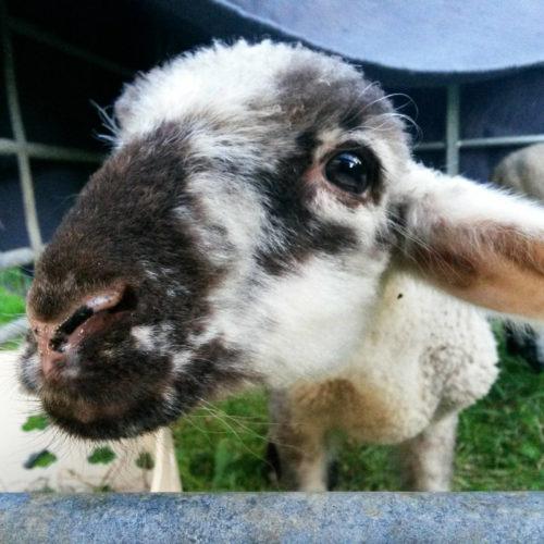 Auf zu neuen Schafen! – Familienprogramm
